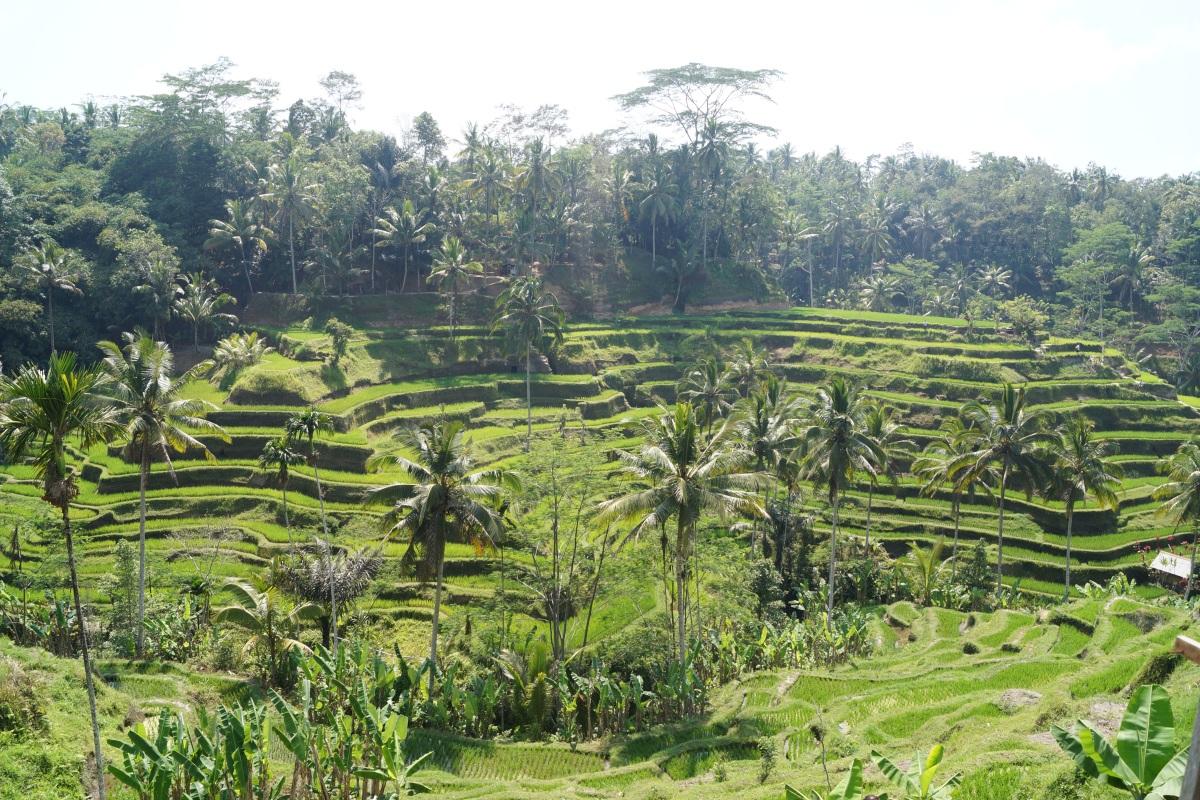 Reisterrassen in Tegalalang