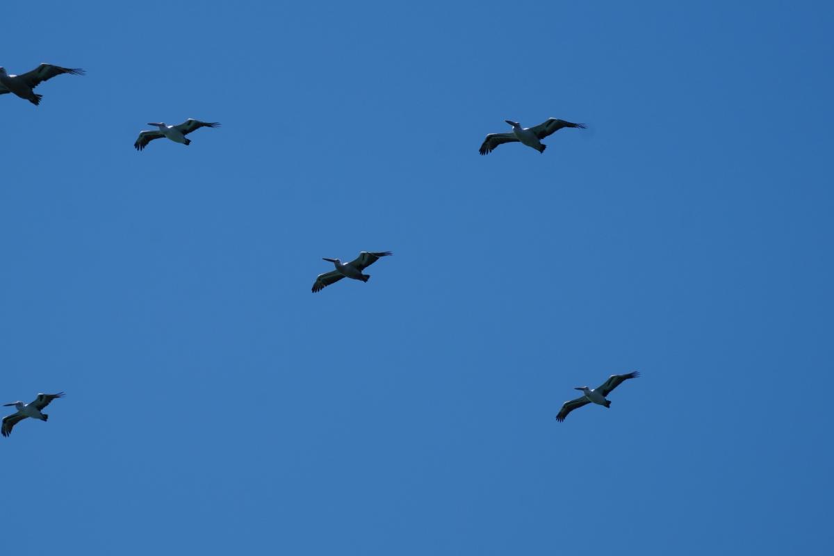 Pelikane im Anflug