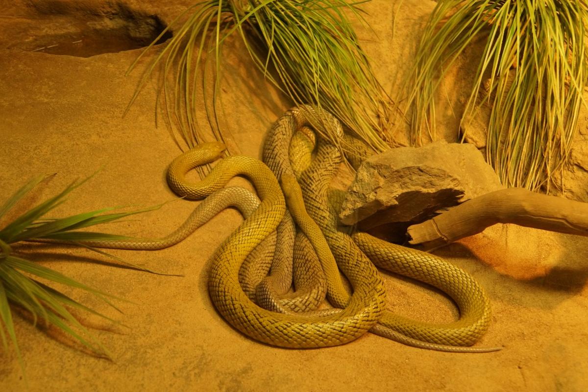 Die giftigste Schlange der Welt - natürlich aus Australien
