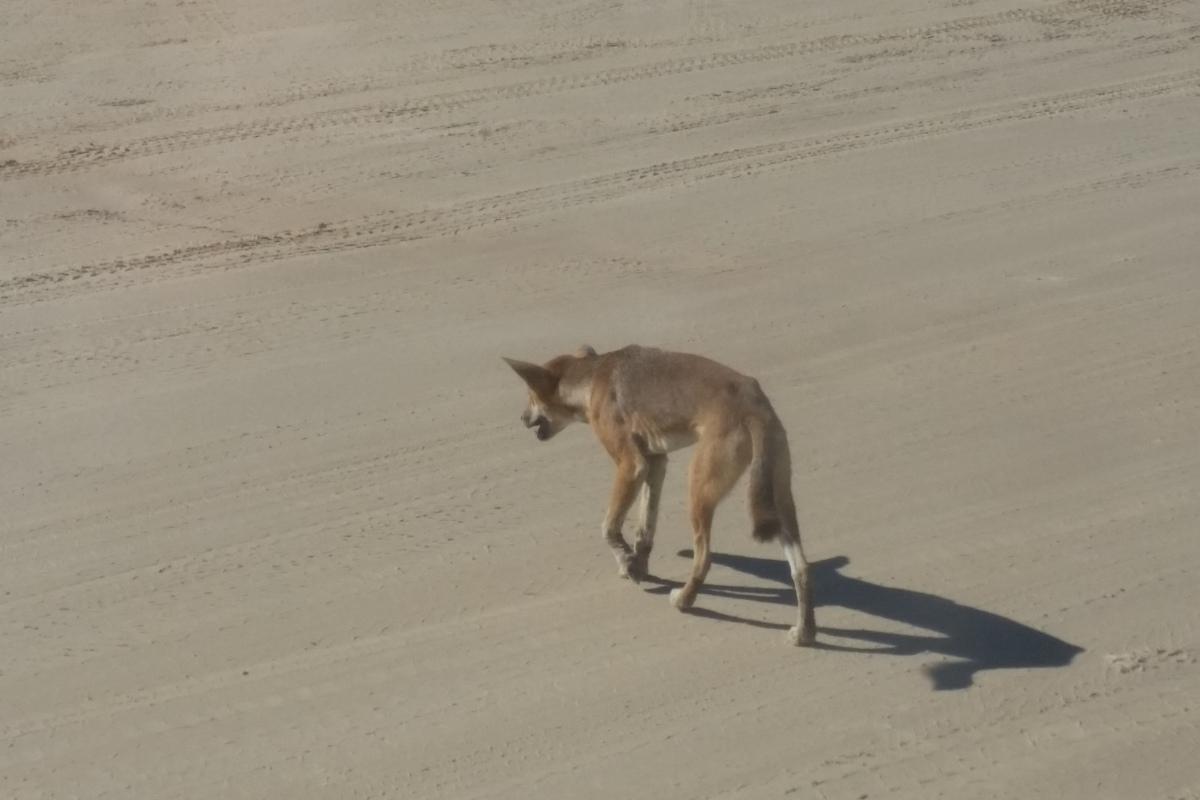 Dingo Welpe