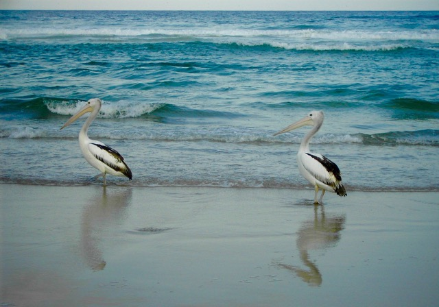 Pelikane, Tallow B