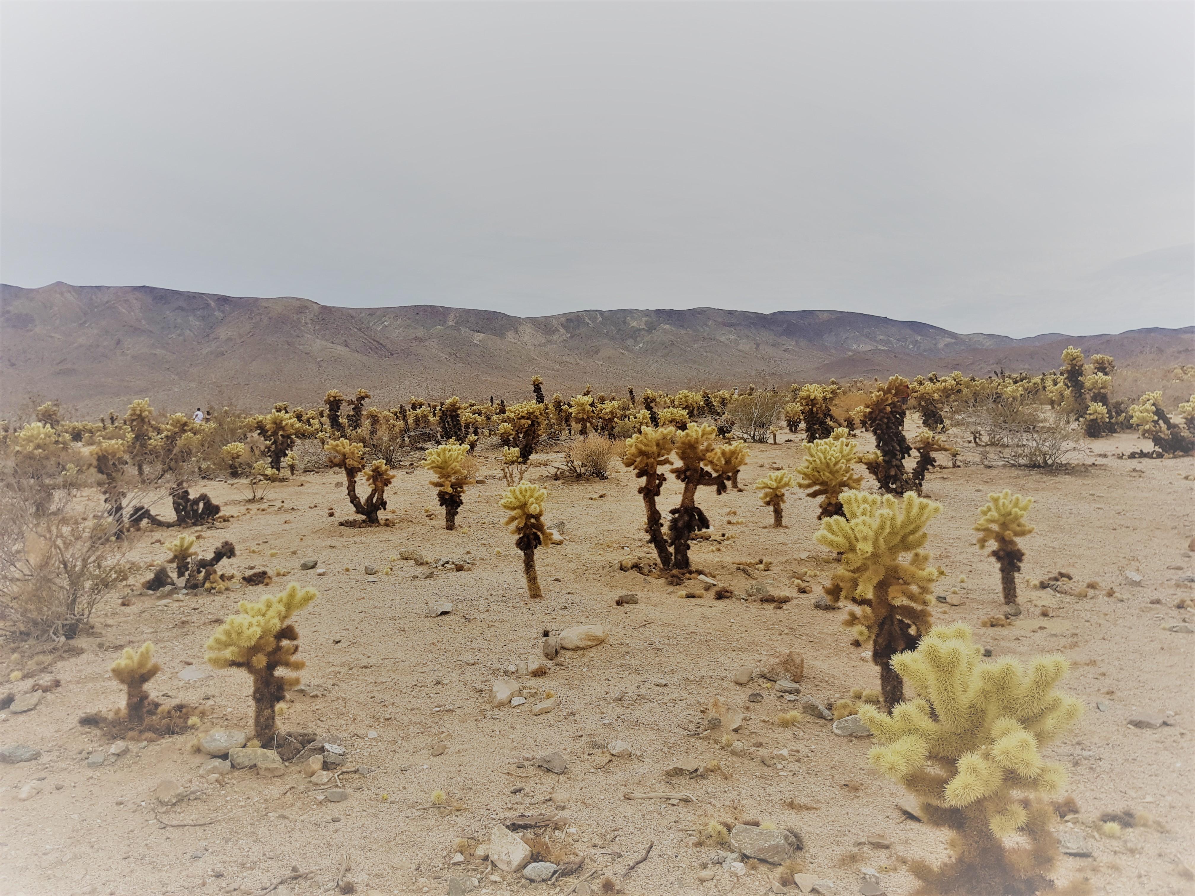 cholla-catus-garden-yosemite-national-park